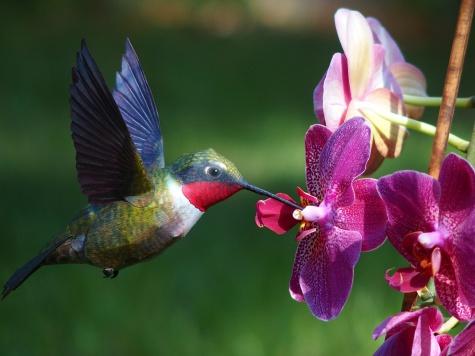 Kolibrík rubínovokrký