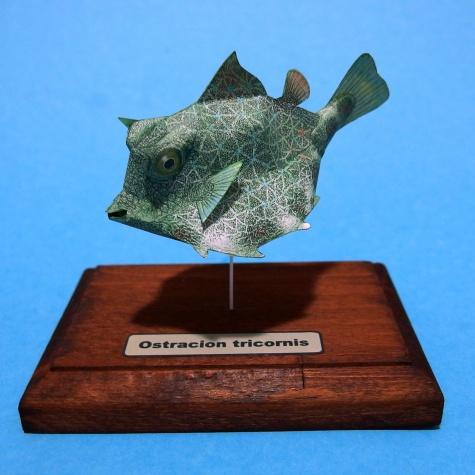 Ostracion tricornis
