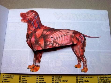 Anatomie psa